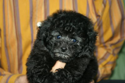 トイプードルシルバーの子犬画像