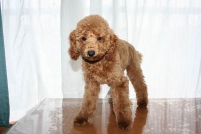 トイプードルレッドの子犬生後5ヶ月