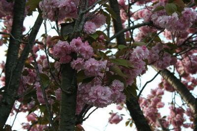 鎌ヶ谷市立南部小学校八重桜