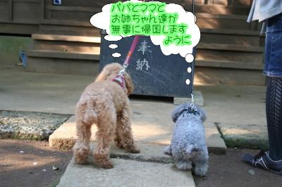 トイプードルレッドとシルバー成犬画像