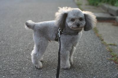 トイプードルシルバー成犬画像