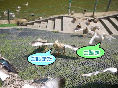 東京ドイツ村アイガモ画像