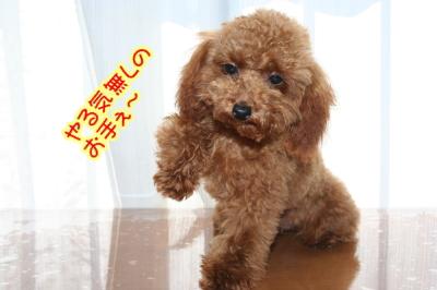 トイプードルレッドの子犬メス生後半年画像