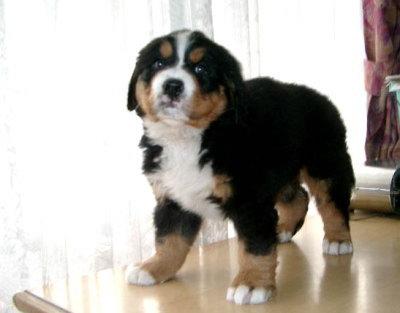 バーニーズマウンテンドッグ子犬メス画像