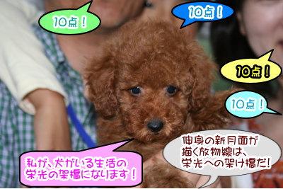 トイプードルレッドの子犬メス画像