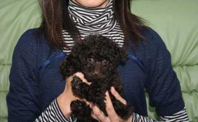 トイプードルブラウンの子犬