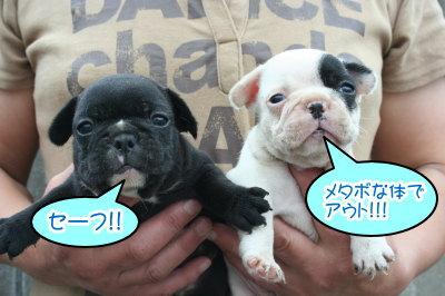 フレンチブルドッグパイドとブリンドルの子犬画像