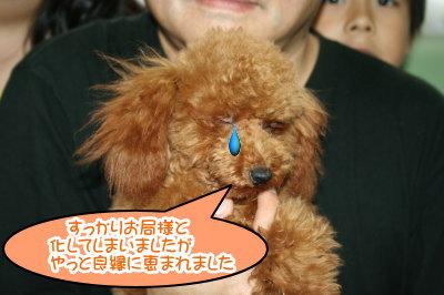 ティーカップサイズのトイプードルレッドの子犬メス画像