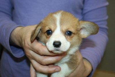 ウェルシュコーギーレッド&ホワイト子犬画像