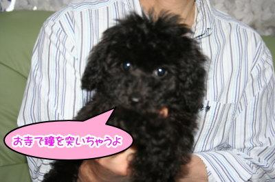 トイプードルブラックの子犬メス画像