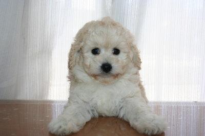 トイプードルホワイトの子犬メス画像