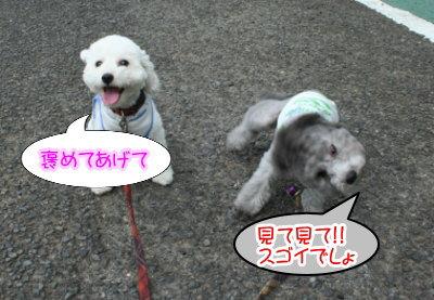 トイプードルホワイトとシルバー多頭飼い画像