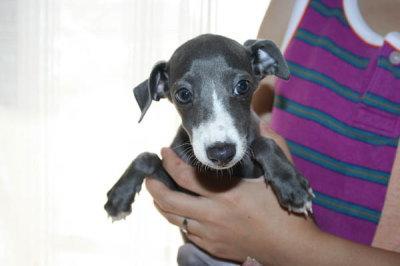 イタリアングレーハウンド(イタグレ)子犬メス画像
