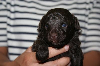 トイプードルブラウンの子犬オス画像