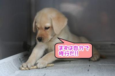 ラブラドールイエロー(クリーム)の子犬メス画像