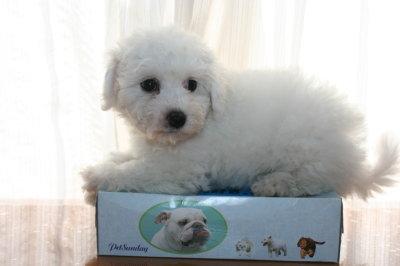 ビションフリーゼの子犬メス画像