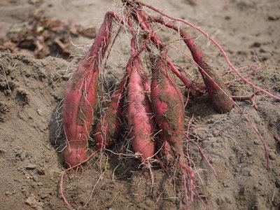 アイガモ(合鴨)農法、長生村画像