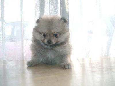 ポメラニアンウルフセーブルの子犬メス画像