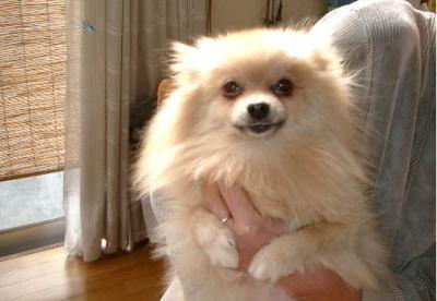 ポメラニアンクリームメス犬の画像