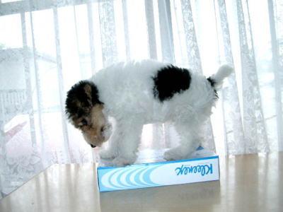 ワイアーフォックステリア白黒茶子犬画像