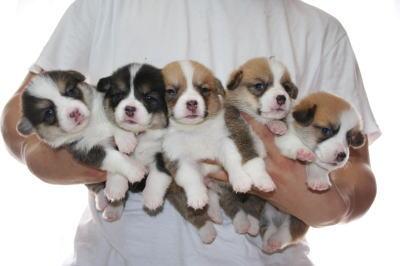 ウェルシュコーギーの子犬画像