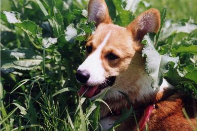 ウェルシュコーギーの成犬画像