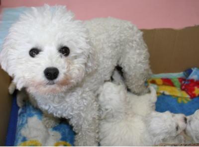 ビションフリーゼの成犬母犬メス画像