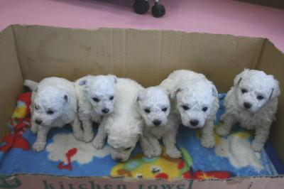 ビションフリーゼの子犬オス3頭メス3頭画像