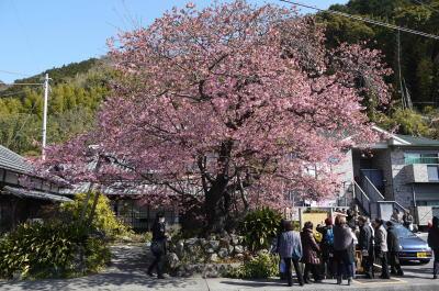 河津桜原木画像