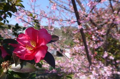 河津桜と椿の画像