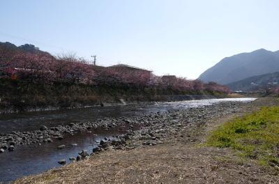 河津桜画像