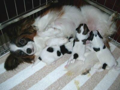 パピヨン白茶(ホワイト&レッド)の子犬オスメス画像