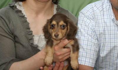 ミニチュアダックスチョコタンの子犬画像