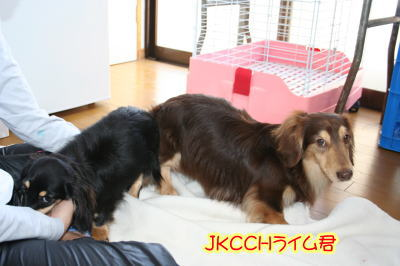 ミニチュアダックス犬の交配、チョコクリームxブラッククリーム画像