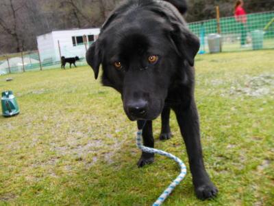黒ラブラドール成犬画像