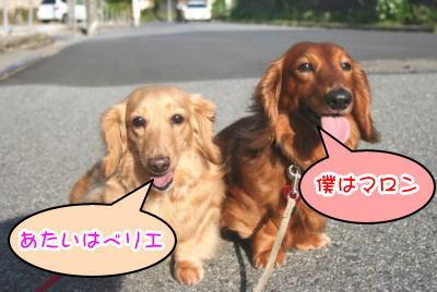 ミニチュアダックスレッドとクリーム成犬多頭飼い画像