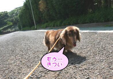 ミニチュアダックスチョコタン2頭成犬画像