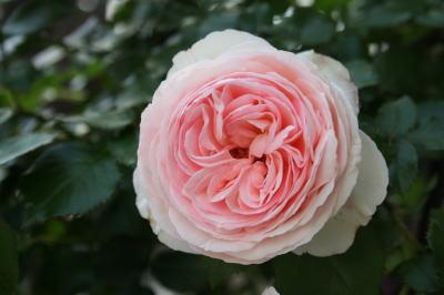 バラの花画像