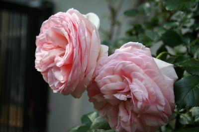 薔薇の花画像