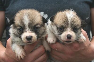 ウェルシュコーギーレッド&ホワイトの子犬オスメス画像