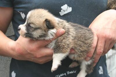 ウェルシュコーギーレッド&ホワイトの子犬オス画像