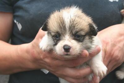 ウェルシュコーギーレッド&ホワイトの子犬メス画像
