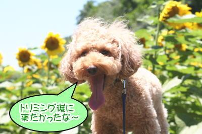 トイプードルレッド成犬画像