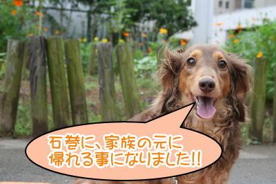 ミニチュアダックスチョコタン成犬画像