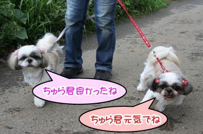 シーズー多頭飼い成犬画像