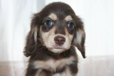 ミニチュアダックスチョコクリームの子犬オス、生後50日画像