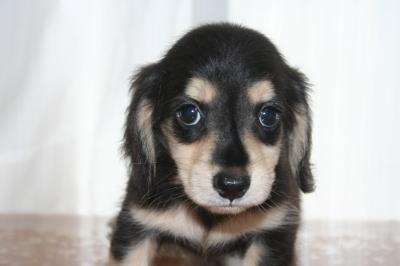ミニチュアダックスブラッククリームの子犬オス、生後50日画像