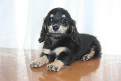 ミニチュアダックスブラッククリームの子犬メス、生後50日画像