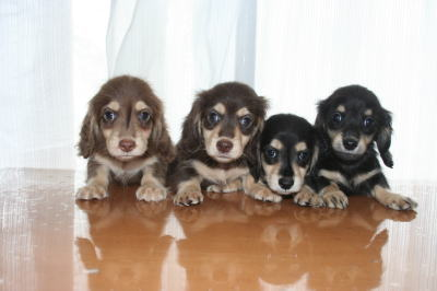 ミニチュアダックスチョコクリームブラッククリームの子犬兄弟画像