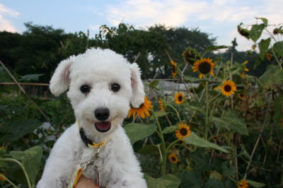 トイプードルホワイト成犬メス画像